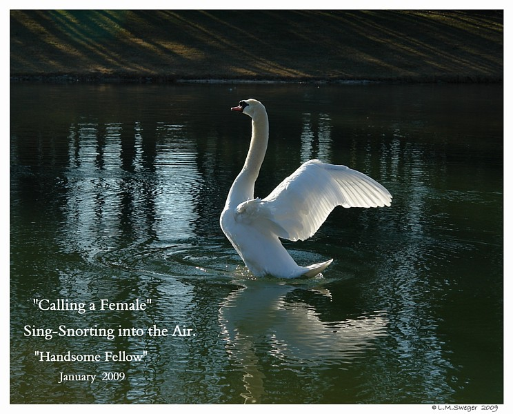 Lonely Mute Swan Singing