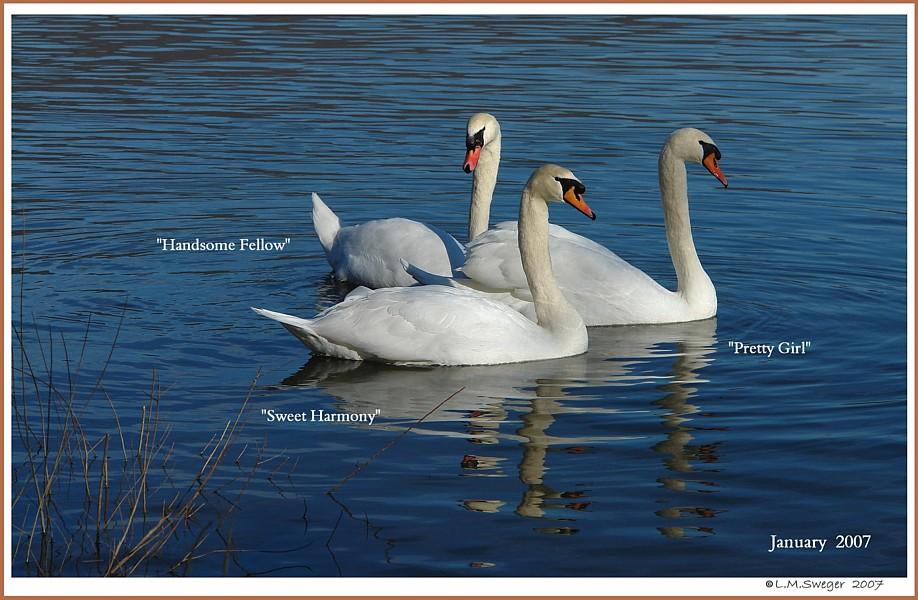 Feral  Mute Swan Threesome
