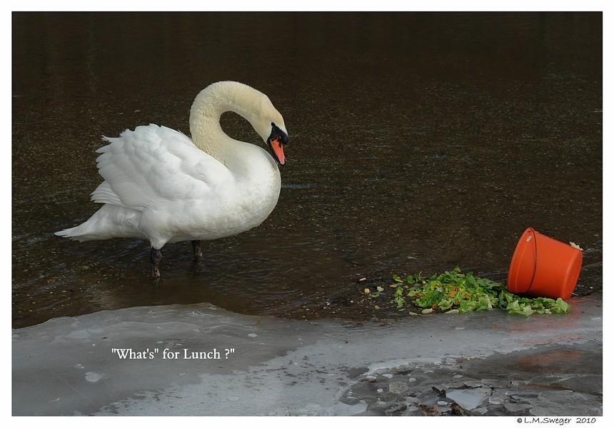 Vinyl Feed Bucket Captive Mute Swans Feeding Swans