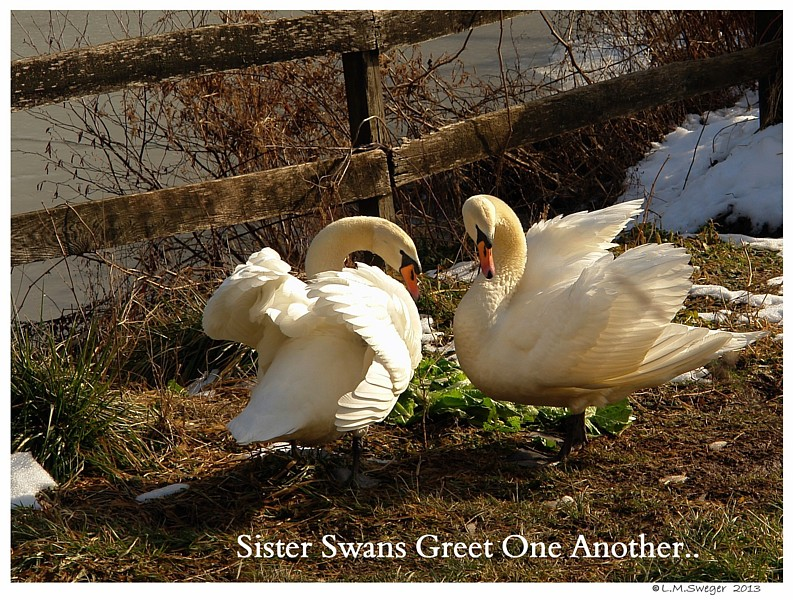 Sister Mute Swans