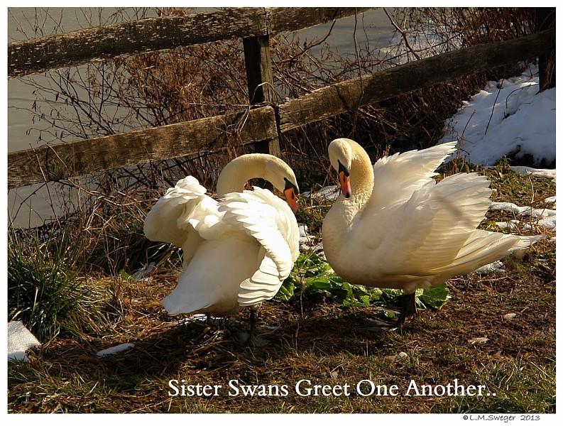 Sister Mute Swans