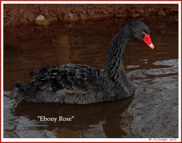 Black Australian Swan Ebony Rose