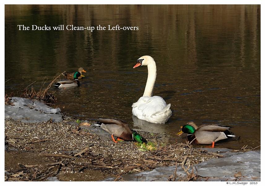 Ducks Clean-up Captive Mute Swans Feeding Swans