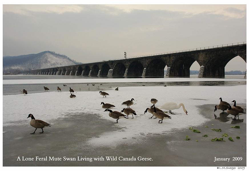 Mute Swan Canada Geese