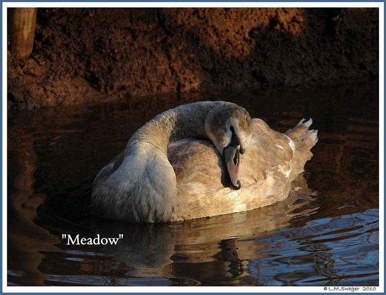 Mute Swan Cygnet Meadow