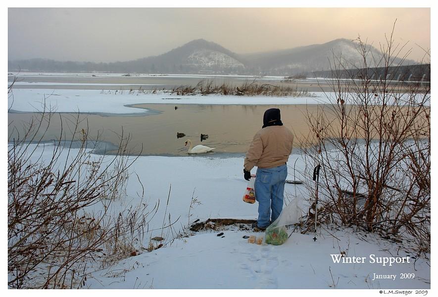 Winter Mute Swan