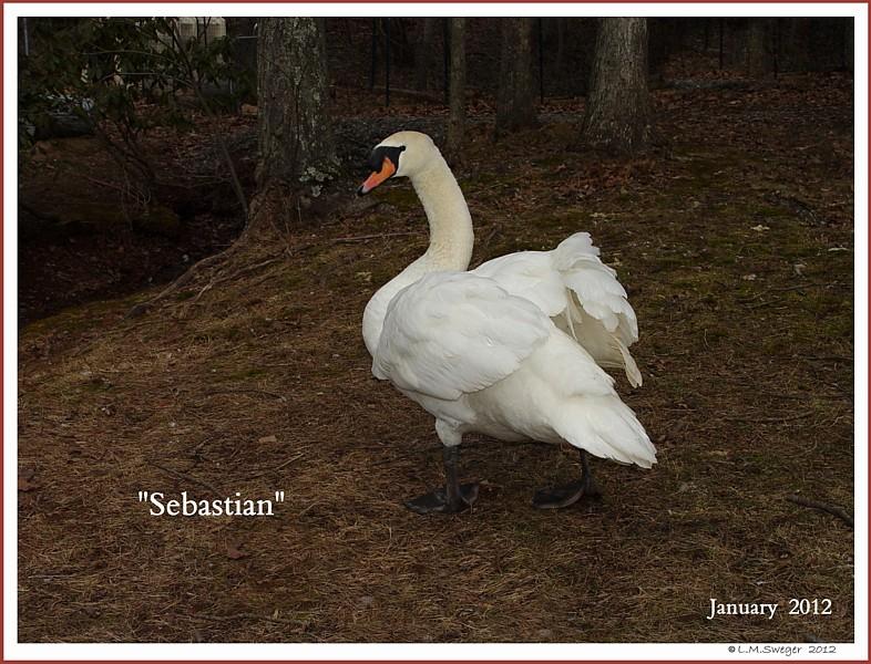 Royal Mute Swan Sebastian