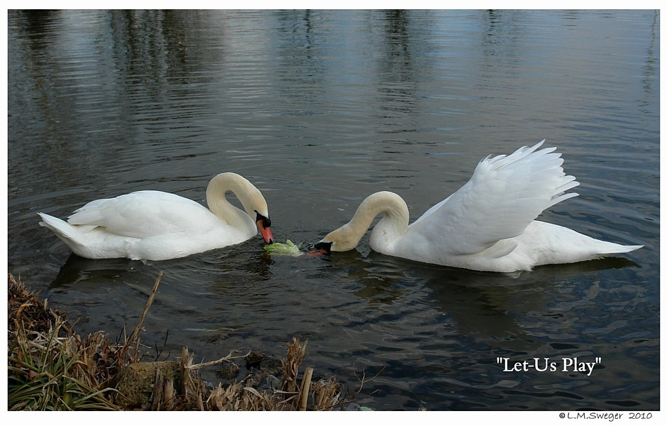 Lettuce Play for Swans