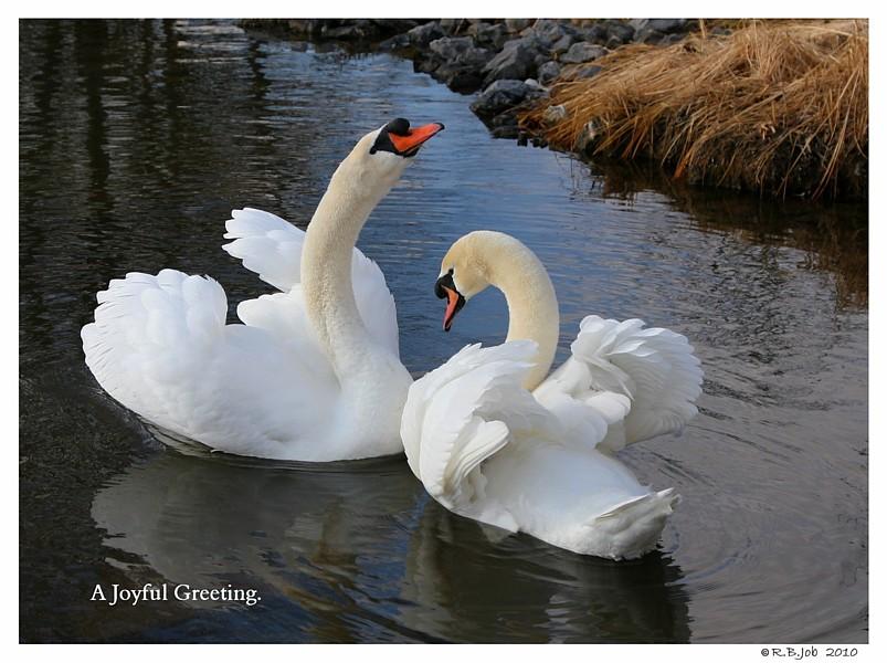 Swans Joyful Greeting