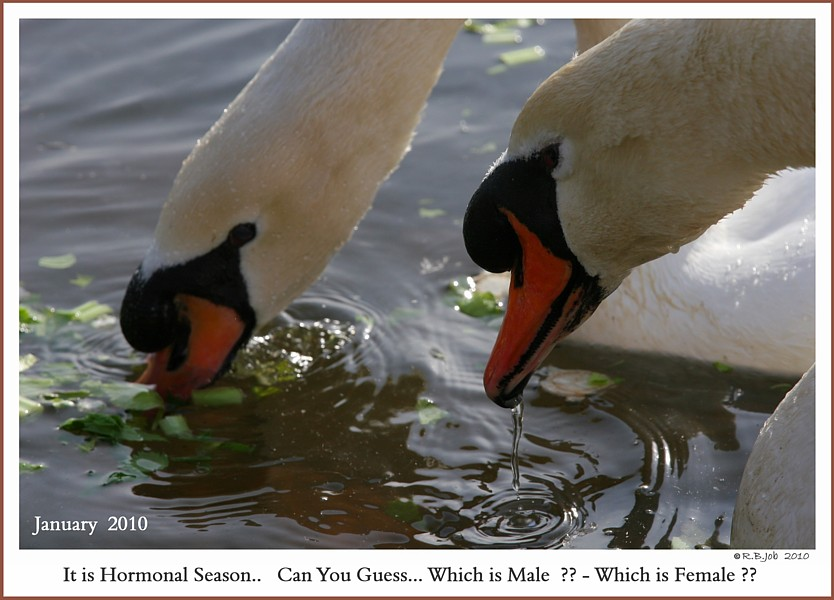 Mature Mute Swans Swans DNA-Sex Testing