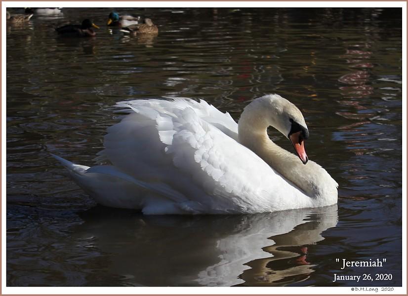 Male Mute Swan Jeremiah
