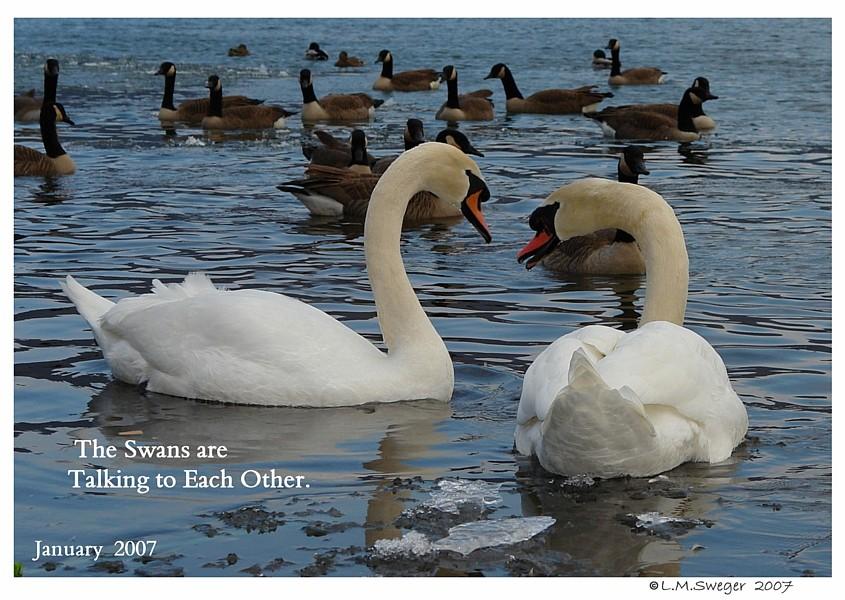Mute Swans Talking