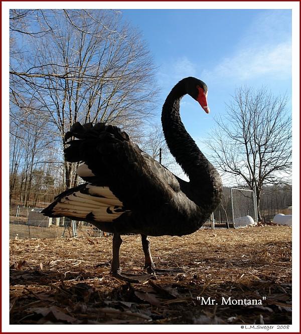 Black Australian Cob Mr. Montana