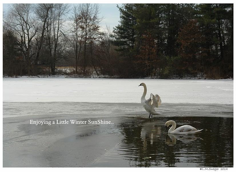 Hand Raising Swan Cygnets