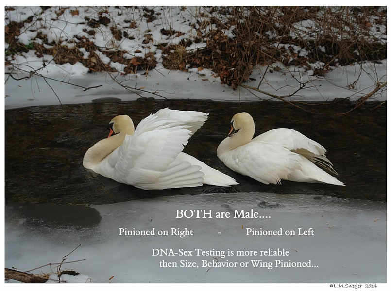 Same Sex Male Swans