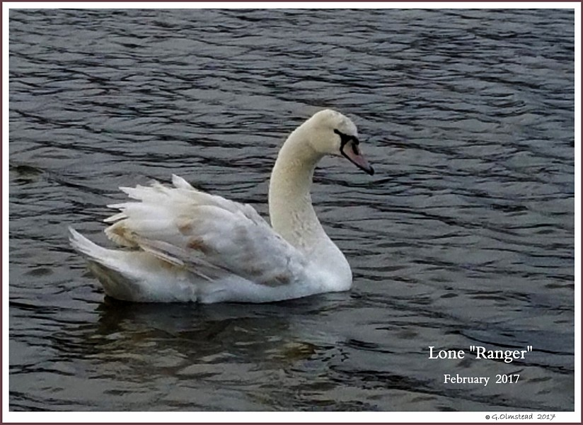 Male Mute Swan Cygnet Lone Ranger