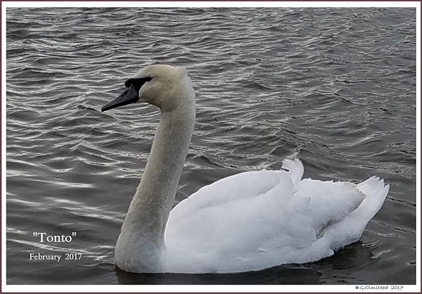 Male Mute Swan Cygnet Tonto