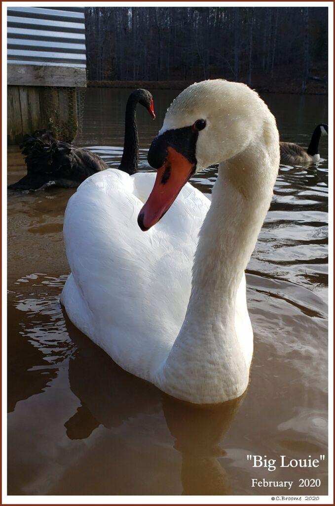 Male Mute Swan Louie