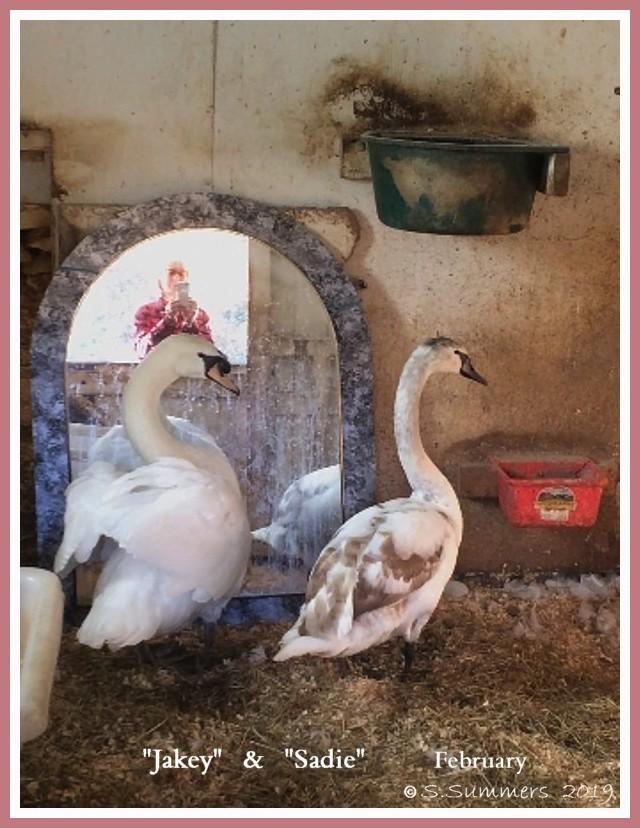 Young Mute Swan Companions  Jakey  Sadie