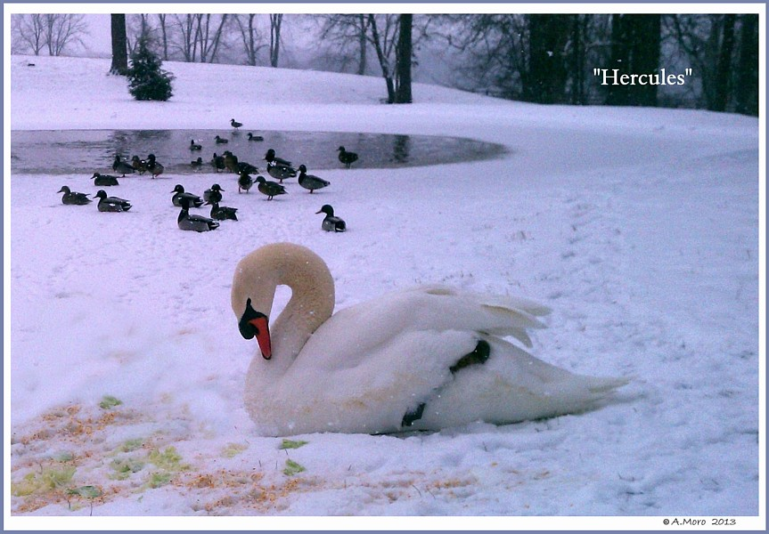 Mute Swan Hercules