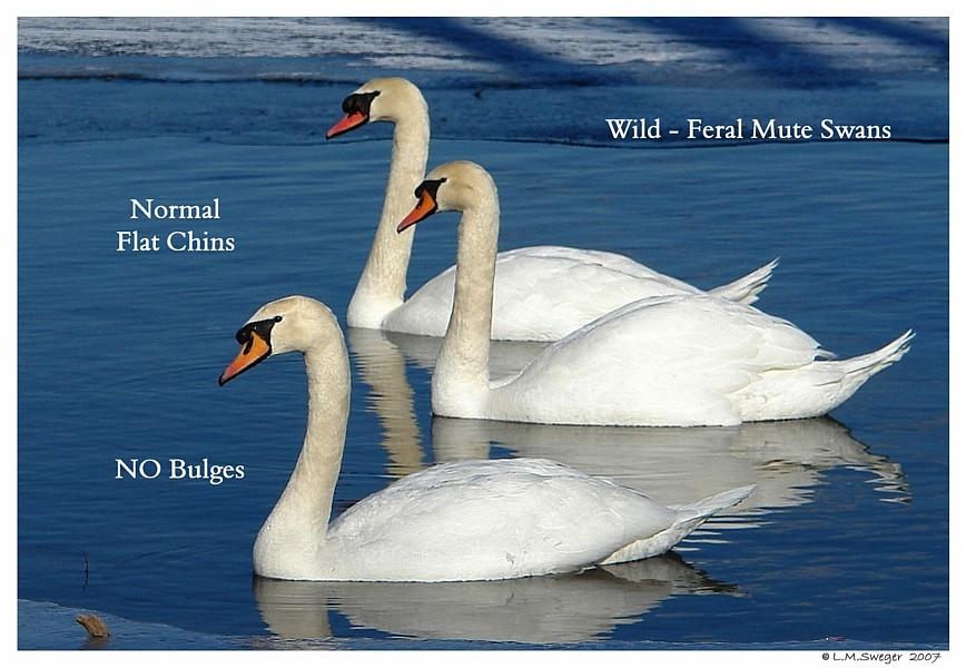 Normal Swans Swan Under Chin-Tongue Bulge Impaction