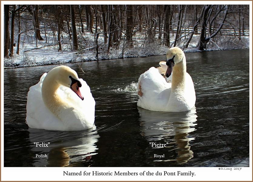 Mute Swan Male Cygnets  Felix  Pierre
