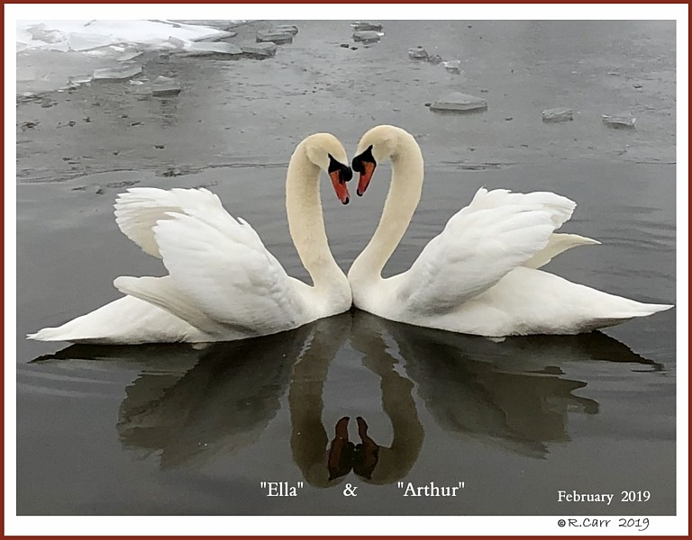 Male Mute Swans Ella Arthur