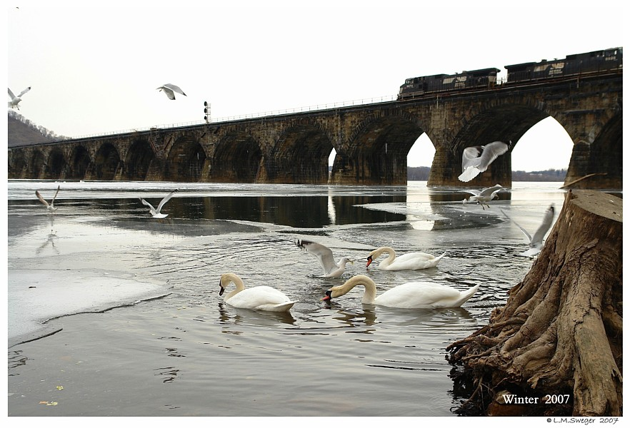 Feeding Captive Swans Captive Mute Swans Feeding Swans