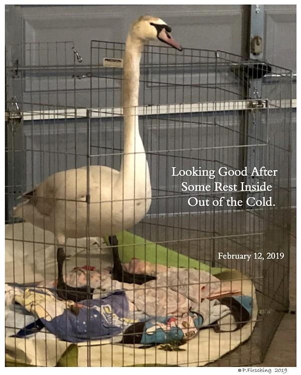 Sheltering Swan