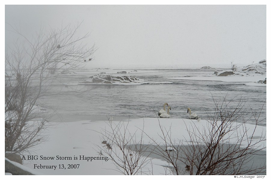 Mute Swans Winter Captive Mute Swans Feeding Swans