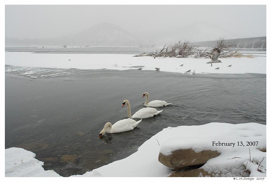 Swan Winter Feed Captive Mute Swans Feeding Swans