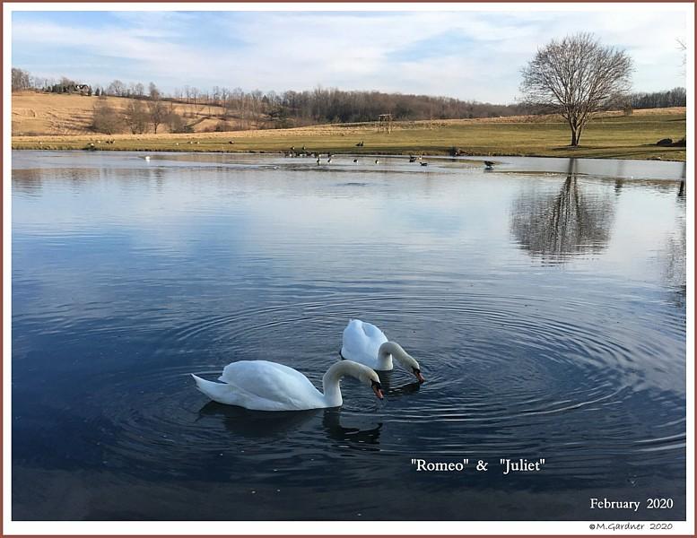 Mute Swan Pair  Romeo  Juliet