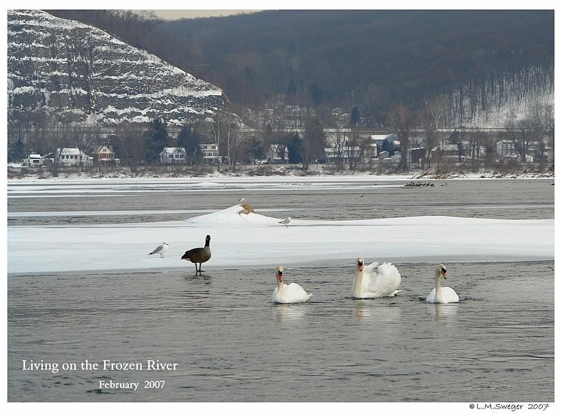 Mute Swans in Winter Captive Mute Swans Feeding Swans