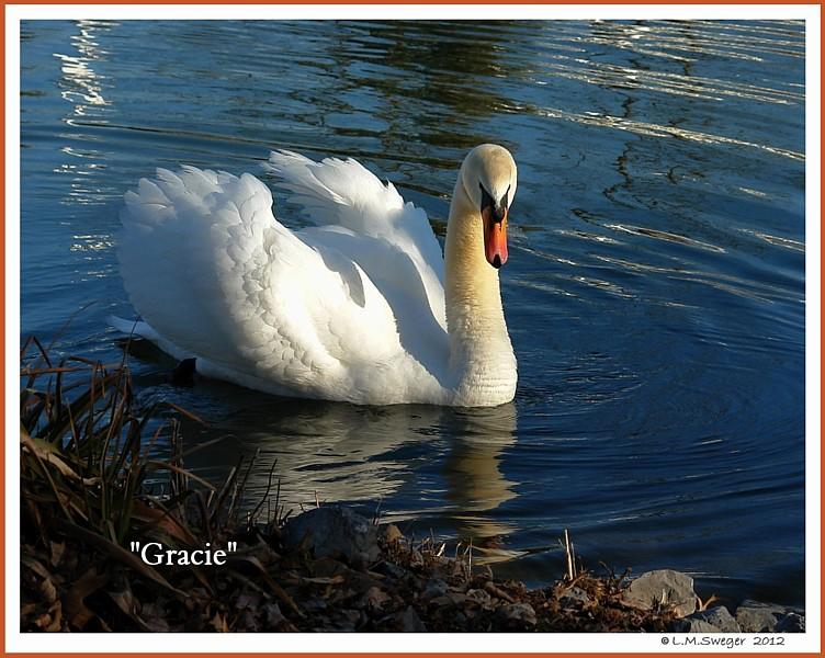 Female Mute Swan Gracie