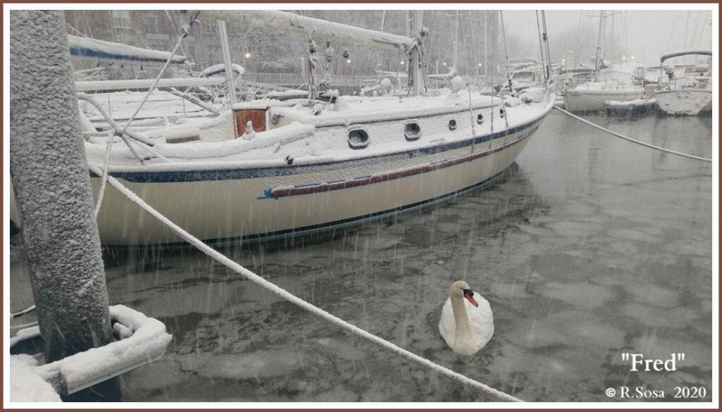 Male Mute Swan Fred