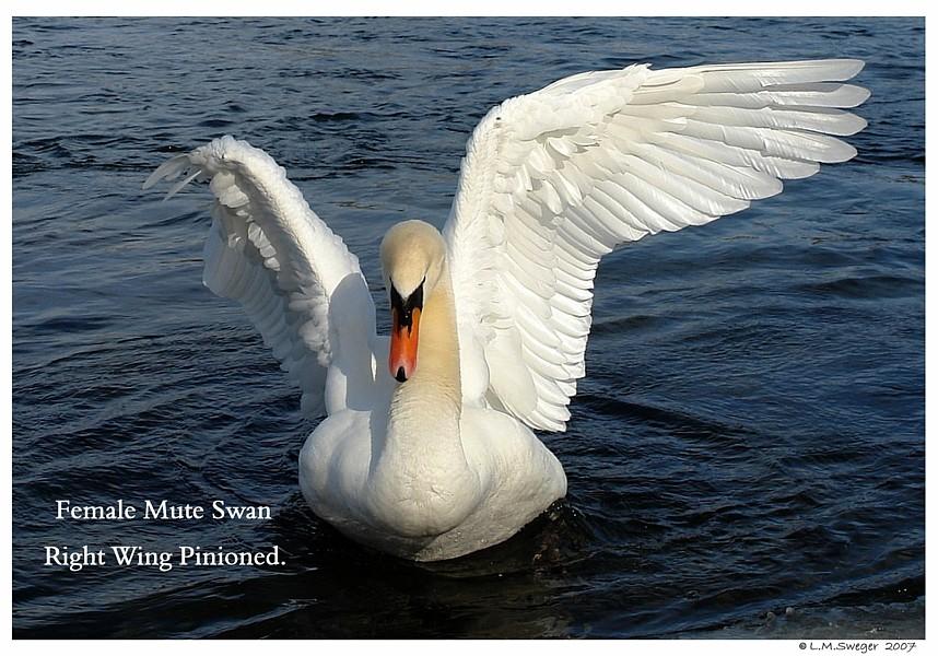 Pinioned Mute Swan Captive Mute Swans Feeding Swans