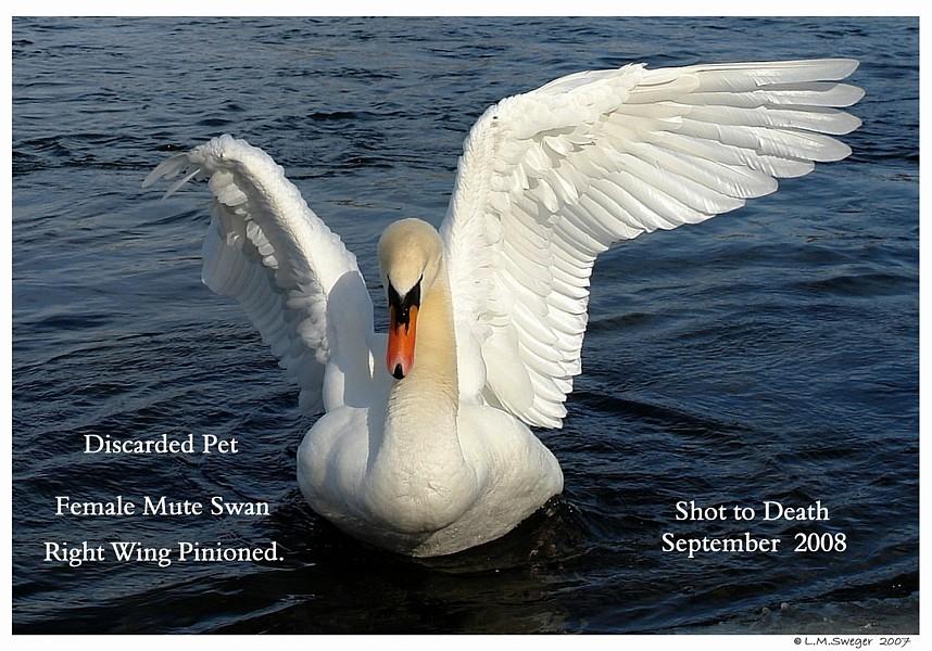 Discarded Pet Mute Swan