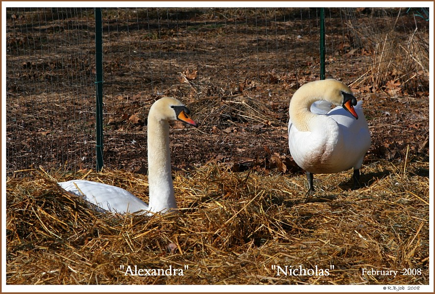 Mute Swans Nicholas Alexandra