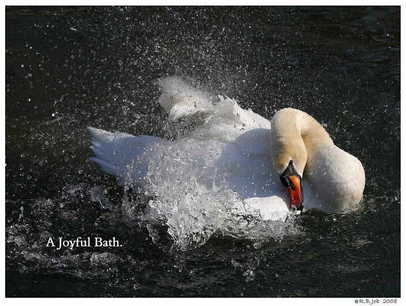 Swan Joyful Bath