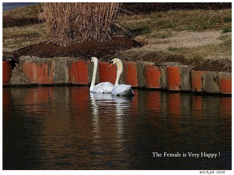 Introducing Mute Swan