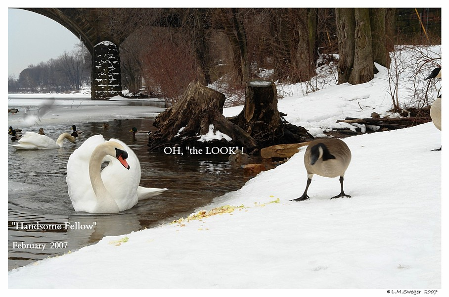 Mute Swan Canada Goose