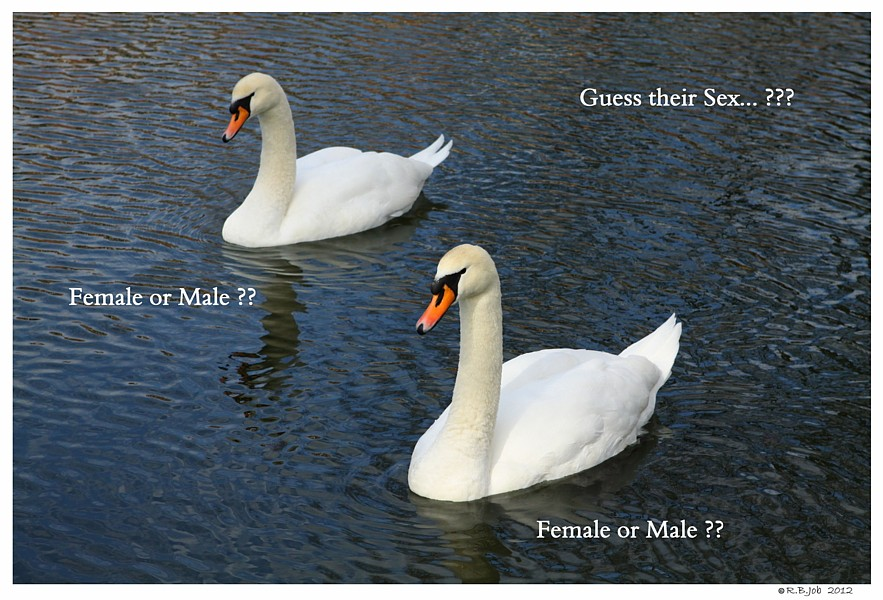 Young Female Swans