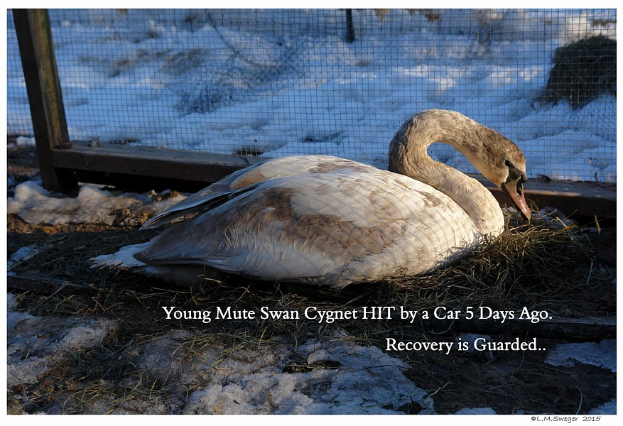 Injured Mute Swan Cygnet