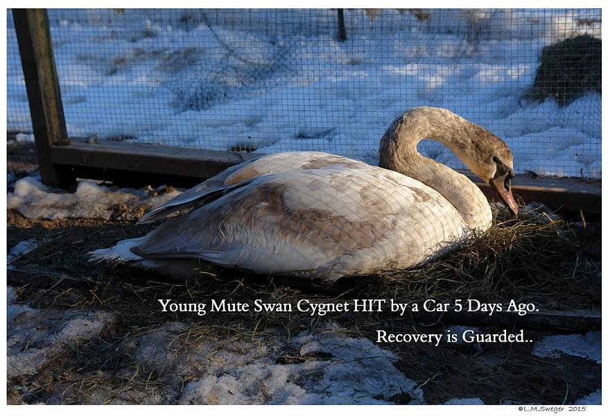 Injured Mute Swan Cygnet