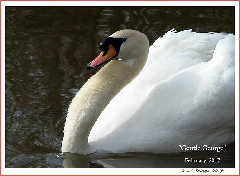 Male Mute Swan George
