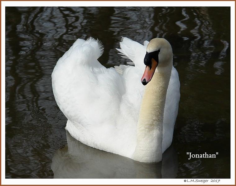 Male Mute Swan Jonathan