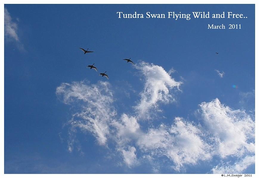 Migrating Tundra Swans Captive Mute Swans Feeding Swans
