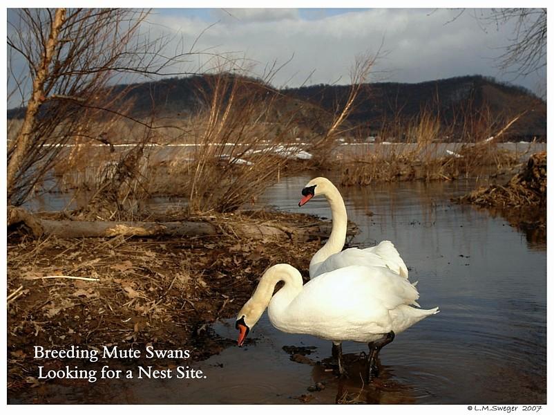 Mute Swans Nesting Captive Mute Swans Feeding Swans