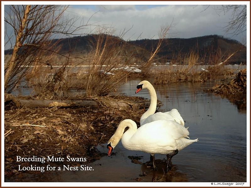 Feral Mute Swan Pair