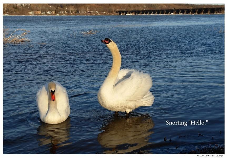 Swan Snorts Hello